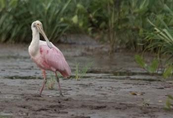 Foto de Espatula rosada