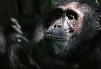 Foto de Chimpancé II en Kibale