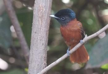 Foto de Monarca-colilargo ventrirrojo