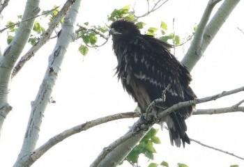 Foto de Águila moteada