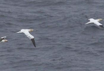 Foto de Alcatraces atlánticos