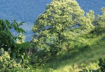 Foto de Chestnut Trees