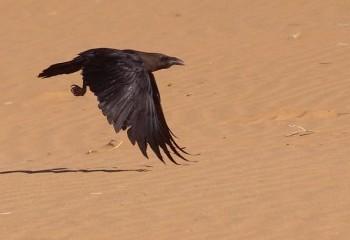 Foto de Cuervo desertícola