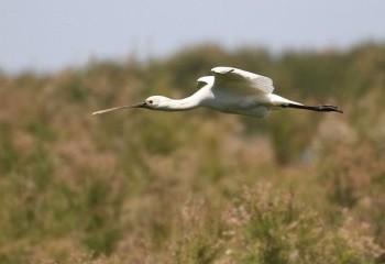 Foto de Eurasian Spoonbill (Doñana)