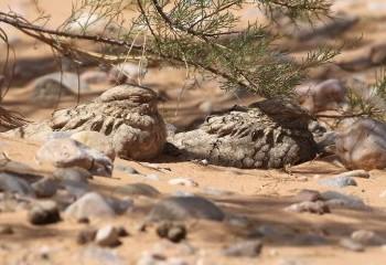 Foto de Marruecos 2019: Chotacabras egipcio