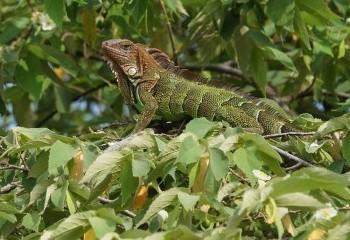 Foto de Iguana verde