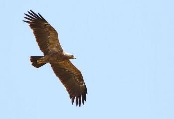 Foto de Uganda 2019: Águila pomerana