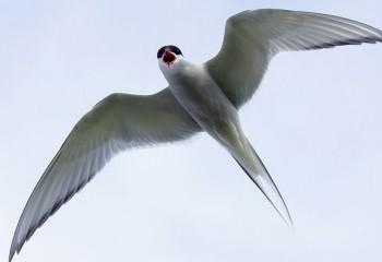 Foto de Charrán ártico