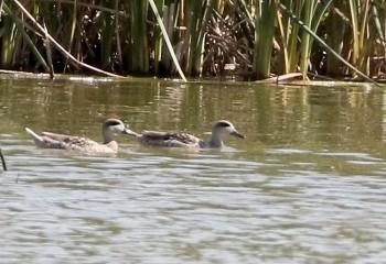 Foto de Marbled Ducks (Doñana)
