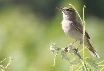 Foto de Rufous Scrub Robin (Doñana)