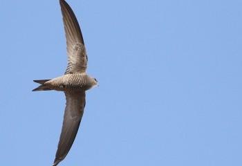 Foto de Pallid Swift (Extremadura)