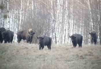 Foto de European Bisons