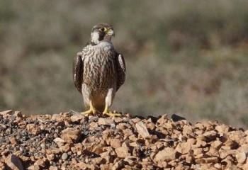Foto de Halcón de Berbería