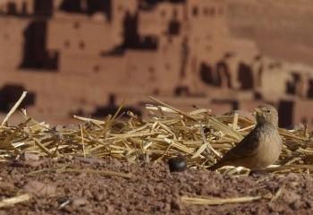 Foto de Terrera sahariana