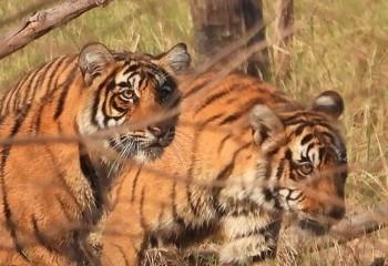 Foto de India 2019: Tigres en Rhanthambore