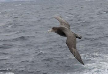 Foto de Abanto marino antártico
