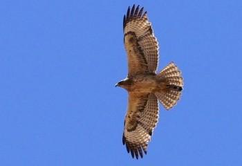 Foto de Águila perdicera joven