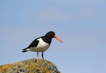 Foto de Oystercatcher in Isle of May