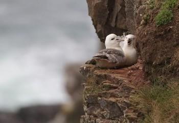 Foto de Northern Fulmars