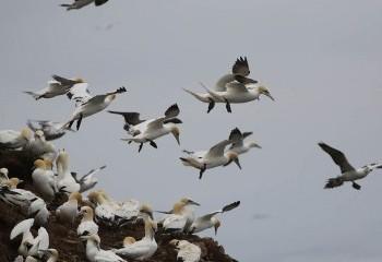 Foto de Gannets in Troup Head RSPB reserve