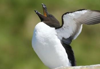 Foto de Razorbill stretching wings!