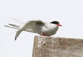 Foto de Arctic Tern