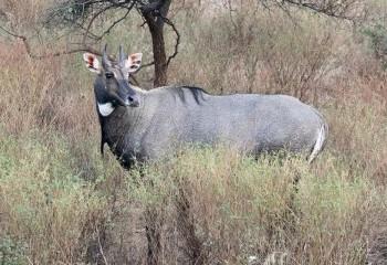 Foto de India 2019: Toro azul o nilgó