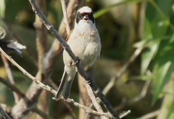 Foto de Pájaro moscón