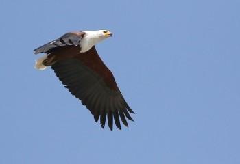 Foto de African Fish Eagle