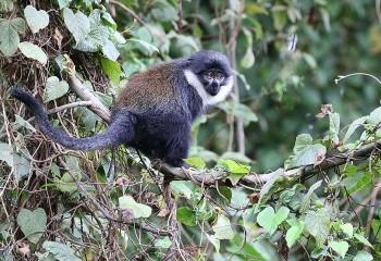 Foto de L'Hoest Monkey