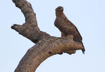 Foto de Wahlberg's Eagle