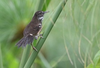 Foto de White-winged Swamp-warbler