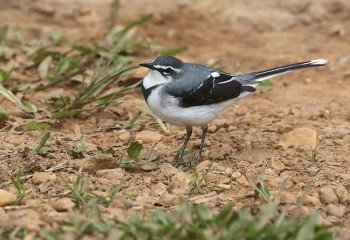 Foto de Mountain Wagtail