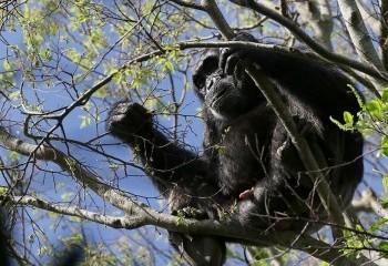 Foto de Uganda 2019: Chimpacé