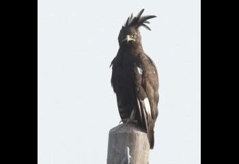 Foto de Águila crestilarga