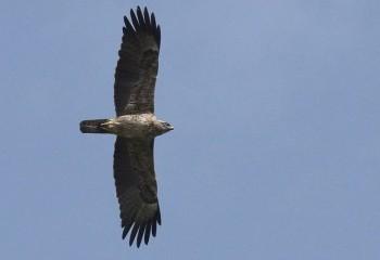Foto de Águila de Wahlberg