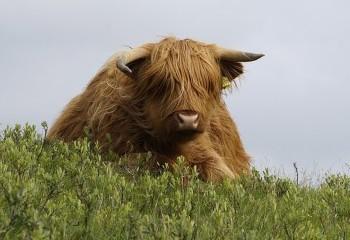 Foto de Vaca highlandesa