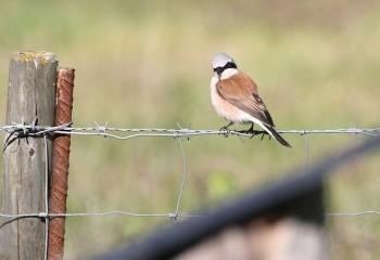 Foto de Red-backed Shrike (Pyrenees)
