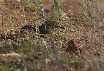 Foto de Stone Curlew (look at that camouflage!)
