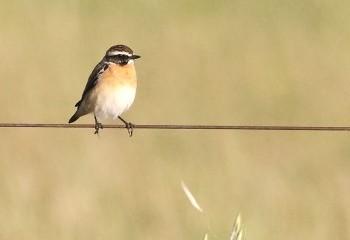 Foto de Whinchat (Extremadura)