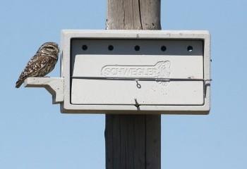 Foto de Little Owl (Extremadura)