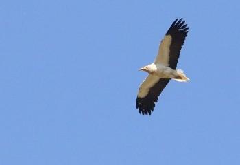Foto de Egyptian Vulture (Extremadura)