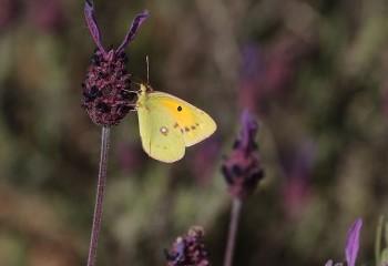 Foto de Clouded Yellow (Extremadura)