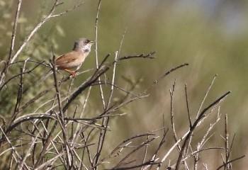 Foto de Spectacled Warbler (Extremadura)