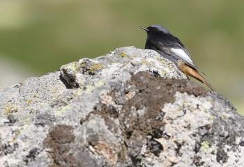 Foto de Black Redstart (Gredos)