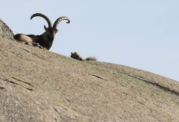 Foto de Male Spanish Ibex (Gredos)
