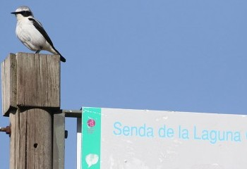 Foto de Northern Wheatear (Gredos)