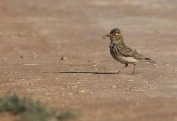 Foto de Lesser Short-toed Lark (Belchite steppes)