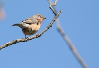Foto de Subalpine Warbler (Extremadura)
