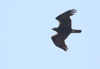 Foto de Spanish Imperial Eagle (Extremadura)